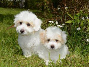 Kako nastaju mrlje oko očiju belih pasa i kako ih se osloboditi