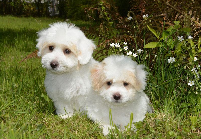 puppies coton tulear 2258227 1920