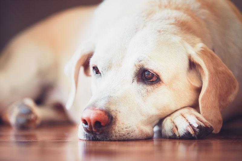 pethouse prepoznajte simptome da vaseg psa nesto muci
